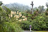 hiker, tramper, walking, mountain mist, low cloud, Mount Taranaki, temperate rainforest, Taranaki National Park North Island, New Zealand