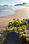 close up, seaweed on rock, pristine beach, Tauranga Bay, Northland, North Island, New Zealand