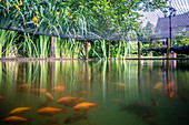Fish pond in the garden with goldfish, Spreewald, Summer, Oberspreewald, Brandenburg, Germany