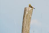 Bird sitting on a post, Biosphere Reserve, Summer, Cultural Landscape, Spreewald, Brandenburg, Germany