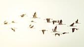 Wild birds, cranes landing in a field, flight study, bird migration, Autumn day, Fehrbellin, Linum, Brandenburg, Germany