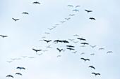 Cranes flying, Double Exposure, flight study, bird migration, grus grus, autumn, stork village, Fehrbellin, Linum, Storchendorf, Brandenburg, Germany