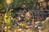 Turtle in the evening sun, Natural Habitat, Cork Forest, Cork Tree, Gorges of Blavet, Cote d'Azur, France