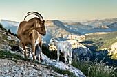 Wild Goats on rocks, Verdon Gorge, Route des Cretes, Vosges, Provence-Alpes-Cote d'Azur, France
