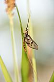 Fly, Biosphere Reserve, Summer, Cultural Landscape, Spreewald, Brandenburg, Germany