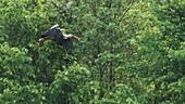 White stork searching for nesting material, stork, breeding season, flight study, Brandenburg, Germany