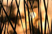 Schilf im Gegenlicht bei Sonnenuntergang, Schilfgürtel, Mücken, Wasserreflexionen, Spiegelung,  Brandenburg, Deutschland