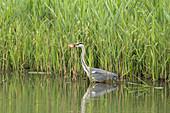 Grey Heron hunting fish, Biosphere Reserve, Cultural Landscape, Waterside, River, Spreewald, Brandenburg, Germany
