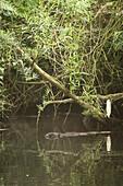 Nutria beaver along the river banks, Biosphere Reserve, Cultural Landscape, Spreewald Brandenburg, Germany