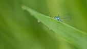 Kleinlibelle auf Grashalm, Schilf, Biosphärenreservat, Uferzone, Spreewald, Brandenburg, Deutschland