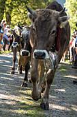 Cows wearing bells for the Almabtrieb, Stillachtal, Oberallgaeu, Allgaeu, Oberallgaeu, Alps, Germany