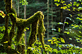 Moss covered branches, Forest, mountain forest, Autumn, forestry, Fellhorn, Birgsau, Oberallgaeu, Alps, Oberstdorf, Germany