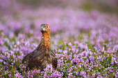 Red grouse (Lagopus lagopus), Yorkshire Dales, England, United Kingdom, Europe