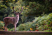 Fallow deer (Dama dama) in an autumnal forest, Bradgate, England, United Kingdom, Europe
