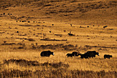 Yaks grazing on the vast open rangelands on the edge of the Tibetan Plateau in Sichuan Province, China, Asia