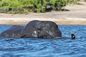 African elephant (Loxodonta africana) crossing river, Chobe River, Botswana, Africa