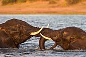 African elephant (Loxodonta africana) playfighting, Chobe River, Botswana, Africa