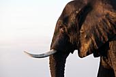 African elephant (Loxodonta africana), Chobe National Park, Botswana, Africa