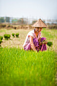 A woman harvests young rice into bundles which will be re-planted spaced further apart using more paddies to allow the rice to grow, Kachin State, Myanmar (Burma), Asia