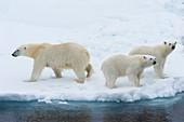 Mutter-Eisbär (Ursus maritimus) mit zwei Jungen am Rande einer schmelzenden Eisscholle, Spitzbergen-Insel, Svalbard-Archipel, Arktis, Norwegen, Skandinavien, Europa