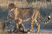 Cheetah (Acinonyx jubatus) with cub, Kgalagadi Transfrontier Park, Northern Cape, South Africa, Africa