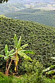 Cafetales, Coffee plantations, Coffee Cultural Landscape, Quindio, Colombia, South America