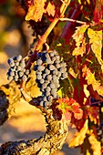 Weinberge, Rioja Wein, Haro, La Rioja, Spanien