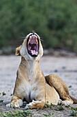 Lion (Panthera leo) - Yawning female. Chobe National Park, Botswana.