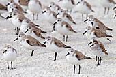 Sanderlings Calidris alba and Dunlin Caldris alpina resting March Fort Myers beach Gulf coast Florida USA.