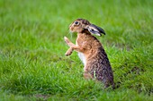 Brown Hare Lepus europaeus grooming fur in grassland.