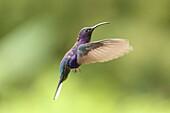 Violet Sabrwing Hummingbird, Campylopterus hemileucurus, male, Costa Rica.