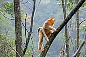 Asia, China, Shaanxi province, Qinling Mountains, Golden Snub-nosed Monkey Rhinopithecus roxellana, adult male on tree.