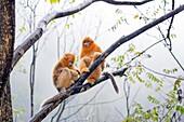 Asia, China, Shaanxi province, Qinling Mountains, Golden Snub-nosed Monkey Rhinopithecus roxellana,.