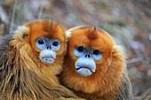 Asia, China, Shaanxi province, Qinling Mountains, Golden Snub-nosed Monkey (Rhinopithecus roxellana),.