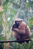 South east Asia, India,Tripura state,Gumti wildlife sanctuary,Western hoolock gibbon (Hoolock hoolock), adult female with baby.