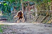 South east Asia, India,Tripura state,Gumti wildlife sanctuary,Western hoolock gibbon (Hoolock hoolock),adult female tamed in a village,walking.