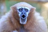 South east Asia, India,Tripura state,Gumti wildlife sanctuary,Western hoolock gibbon (Hoolock hoolock), adult female howling.