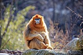 Asia, China, Shaanxi province, Qinling Mountains, Golden Snub-nosed Monkey (Rhinopithecus roxellana).