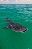Whale shark (Rhincodon typus). Isla Holbox, Quintana Roo, Yucatan Peninsula, Mexico