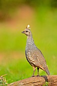 Scaled quail (Callipepla squamata), Rio Grande City, Texas, USA.