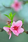 Fruit tree flowers, Austin, Texas, USA.
