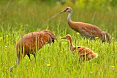 Sandhill crane (Grus Canadensis) Adult and young, Munising, Michigan, USA.