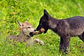 Gray wolf (Canis lupus} captive raised- cubs at play, Minnesota Wildlife Connection, Sandstone, Minnesota, USA.