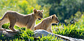 Two four month old lion cubs on alert in North America, USA.