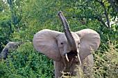 African Elephant (Loxodonta africana) raising trunk, Queen Elizabeth National Park, Uganda, Africa.