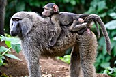 Olive baboon mother carrying young on back (Papio cynocephalus anubis) Virunga National Park, North Kivu, Democratic Republic of Congo, Africa.