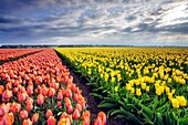 Spring clouds and rays of sun over fields of multicolored tulips Schermerhorn Alkmaar North Holland Netherlands Europe.