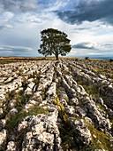 Lone Tree on Limestone Pavement near Malham Yorkshire Dales England.