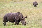 Rhinoceros (Rhinocerotidae) grazing in the fields of Saint Lucia, Kwazulu-Natal, South Africa - iSimangaliso Wetland Park.