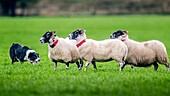 Border Collie herding sheep at International Sheep Dog Trials in Moffat, Scotland, UK.